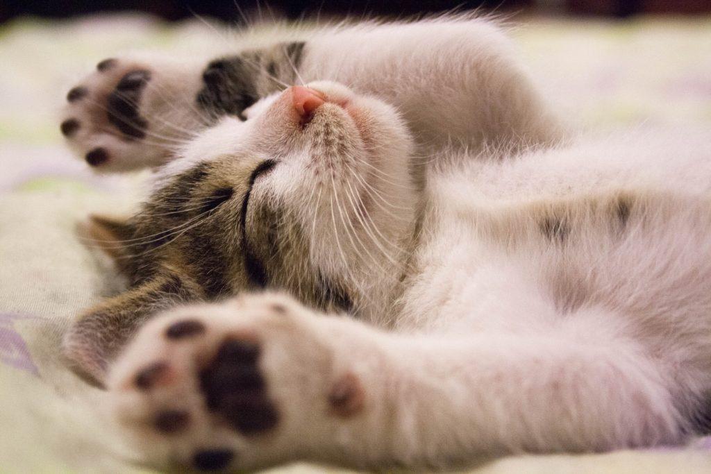 Katzenwelpe